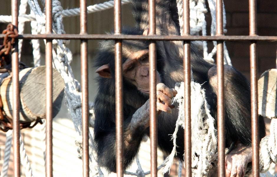majmun, šimpanza