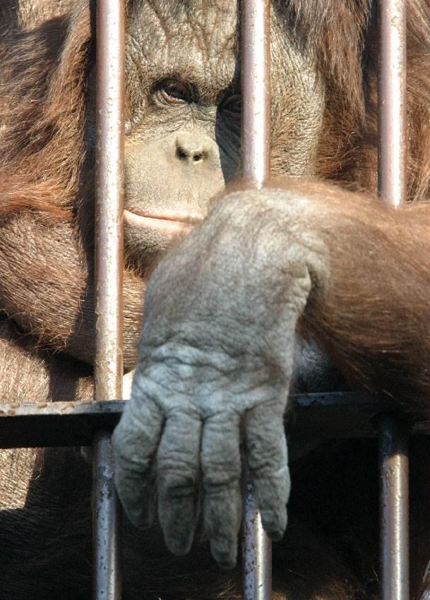 majmun, gorila