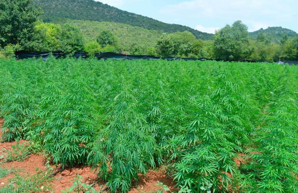marihuana, crna gora, plantaža (1)
